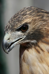 Red-tailed Hawk, close-up