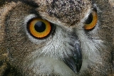 Eurasian Eagle Owl, face