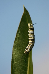 King of the Leaf (Monarch caterpillar)