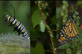 Monarch phases