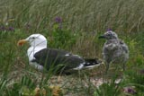 Greater Black-backed gulls