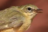 Female black-throated blue warbler